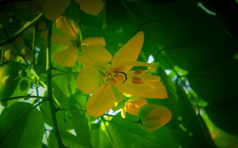 frunze si floare planta cassia obovata