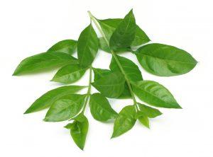 frunze verzi planta henna (lawsonia inermis)