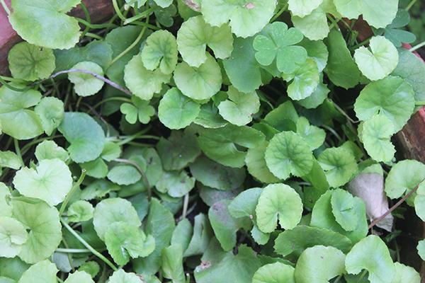 frunze centella asiatica