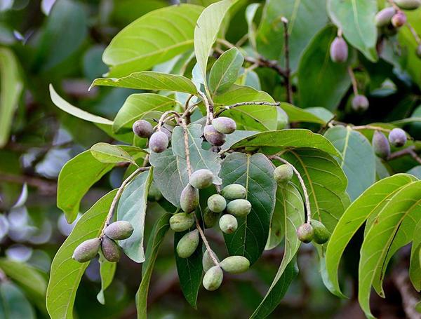 frunze terminalia bellirica