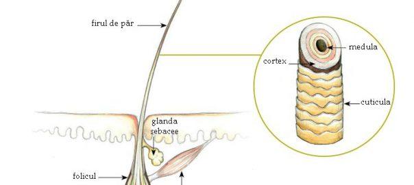 Structura firului de păr